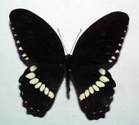 unmounted butterfly PAPILIO DEMOLION DELOSTENOS