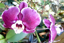 Phalaenopsis (Doritaenopsis) Ever Spring Prince 'Black Rose' In Bloom Orchid