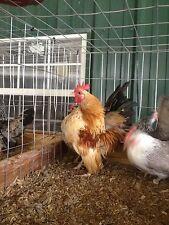 13+ Extra Serama bantam chicken Hatching Eggs (Worlds Smallest Chicken)