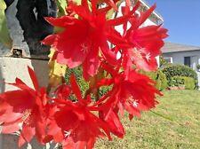 2 GIANT RED Epiphyllum Hylocereus CUTTINGS Orchid Cactus SUCCULENT PLANT ALOE