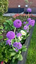 PRIMULA DENTICULATA X 7 HARDY PERENNIAL PLANTS MIXED COLOURS (DRUMSTICK)