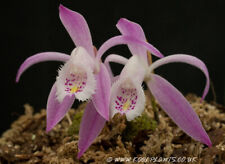 Near Hardy Orchid Pleione praecox 'Mixed Clones' FS