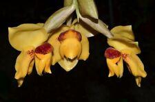 Stanhopea connata species Orchid Plant