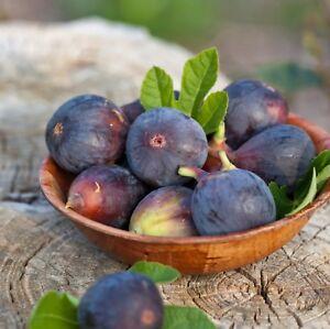 Black Mission Fig Tree Live Plant - Ficus carica