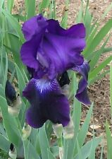 "Bearded Iris ""Crimson King - 2 Rhizome Lot - 2 fresh rhizomes"