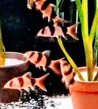"""Clown Loaches Live Peaceful Freshwater Fish - 2.5"""" (Tiger Botia) - Snail Eater"""