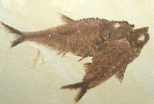 Natural double Knightia eocaena, FOSSIL Fish , Green River, Nice display slab !
