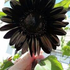 Usa Seller 50 Deep Black Sunflower Seeds Plants Garden Planting 50 Pack