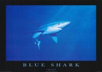 POSTER :ANIMALS : FISH & MARINE : BLUE SHARK  -  FREE SHIPPING ! #PE1032 RW15 i