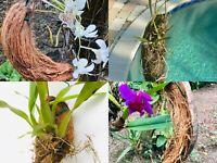 Orchid Tillandia Epiphyte Coconut Husk Encyclia Tampensis Tropical Plant Hanger