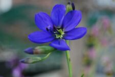 Geissorhiza splendidissima (size of flowering) 1bulb