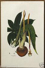 Monarch of The East Sauromatum Venosum Vintage Floral Lithograph
