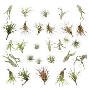 Air Plants - RANGE OF SPECIES - Indoor Tillandsia house plant ionantha tricolor