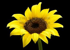 """Poster. """"The Sunflower"""". Professionally printed."""
