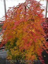 Rare Cascading, Weeping Japanese Maple Tree Plant Seeds - Exotic - Japan Import