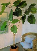 schöner, großblättriger Ficus, auch für dunklere Räume!