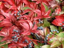Parthenocissus quinquefolia Virginia Creeper Vine Seeds!