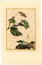 Schmetterlinge-Bäume-Botanik-Kupferstich L'Admiral 1740