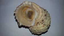 Conchiglia Shell TURBO ARGYROSTOMUS  mm 82+ con opercolo  Isole Maldive