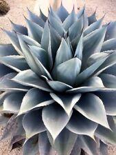 AGAVE OVATIFOLIA 15 semi - incredibile bellezza rustica Messico EL OSO