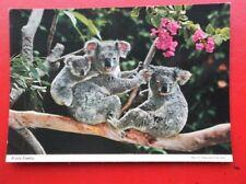 POSTCARD ANIMALS KOALA BEAR FAMILY