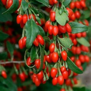 Goji Berry Live Plant 2-3yr + Strong Bare Root , Wolfberry, Superfruit Easy Grow