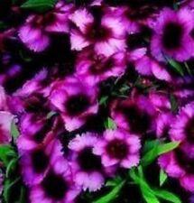 Dianthus - Super Parfait Raspberry - 20 Seeds