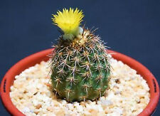 Neoporteria islayensis, Peru Peruvian desert native cactus cacti seed 25 Seeds