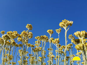 Helichrysum Italicum Immortelle essential oil Organic Certified 100% Pure 20 ml