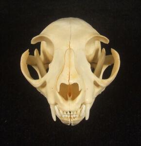 Real Genuine Cat Skull Taxidermy White Head Skeleton (C-042)