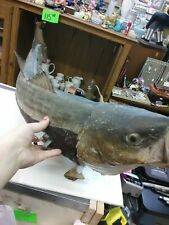 """TAXIDERMY BIG MOUTH  30"""" STRIPED BASS CAUGHT FROM THE LONG ISLAND SOUND"""