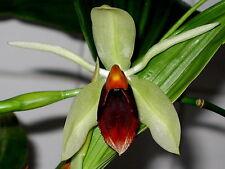 Coelogyne Lyme Bay floraison forte orchidées