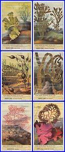 Paket 6 Glanzbilder Liebig Serie Algen Marines Rencontrées Über Unsere Sidecut