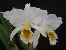 Cattleya percivaliana album Oro Cuchano x alba Portland Snow orchid Near Bloom