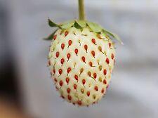 Rarität ! weiße Erdbeere Ananaserdbeere Erdbeersamen