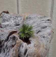 Tillandsia Pedicellata