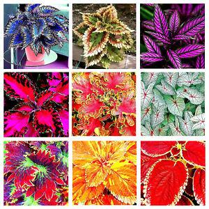 Coleus Blumei Seeds Bonsai Plants Perfect Colorful Beautiful Flowers Home Garden