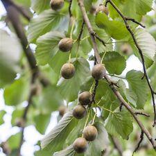 Actinidia arguta Kiwi Planta 2l 60cm planta perenne Planta - BestSeller