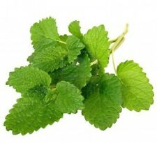 Lemon Balm Melissa officinalis 250 seeds * herb * ez grow * CombSH E34
