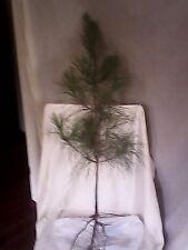 bareroot longleaf pine seedlings