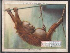 Mother Orang Utan and Baby 1938 Trade Advertising Card