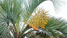 1 PLANT Butia capitata TREE PLUME PALM garden NO adansonia
