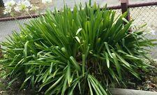 Agapanthus WHITE SEEDS (20)Flower Frost & Drought Tolerant Tough Plant