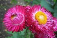 Red Strawflower or Paper Daisy Seeds Native Perennial