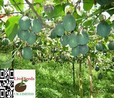 Passiflora maliformis - Sweet Calabash - 6  Live seeds