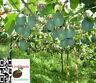 Passiflora Maliformis - Apfel-Grenadille - 6 Live Seeds