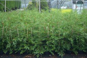 50 X 60-90cms LEYLANDII GREEN EVERGREEN CONIFER HEDGING LEYLAND PLANT 3ltr POTS