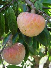 Annona Reticulata fruit, Bullocks heart, Suger Custard Apple Fruit 10 Seeds