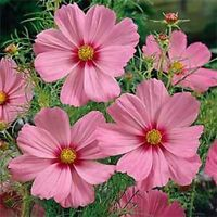 Cosmos- Gloria- 100 Seeds- BOGO 50% off SALE