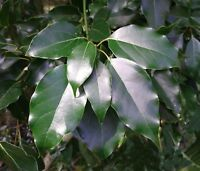 Camphor Tree   Cinnamomum camphora   Bonsai   10 Seeds   (Free Shipping)